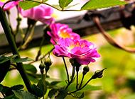 野生蔷薇花图片让人着迷