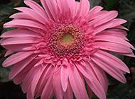 花朵硕大的粉色非洲菊图片