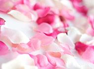零散的玫瑰花瓣图片素材