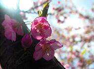浪漫清新粉色樱花飘落精美风景壁纸