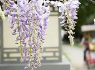 紫色的槐花图片美美哒