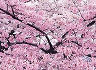 美丽梦幻的粉红色樱花图片