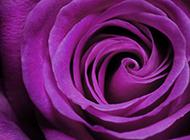 优雅紫玫瑰唯美花卉高清美图