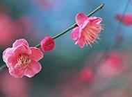 春日枝头肆意绽放的粉色桃花图片