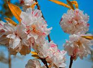 白色樱花图片素材春天鲜花特写
