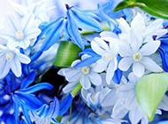 唯美蓝色鲜花背景图片