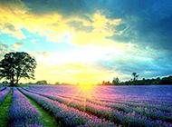 夕阳下的薰衣草田园风光图片
