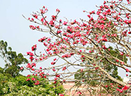火红绚烂的木棉花摄影图片