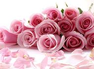 美丽动人的粉玫瑰摄影图片