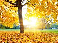 唯美秋天金黄色枫叶背景图片