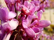 紫色丁香花图片唯美背景素材