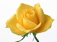 美丽芬芳的黄玫瑰