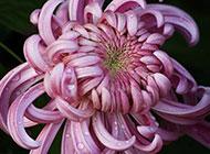 紫色菊花植物摄影图片