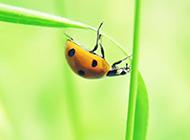 七星瓢虫绿色护眼背景图片