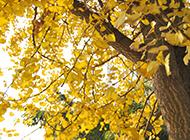 银杏树金黄树叶精美写真