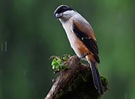 可爱的鸟类动物伯劳鸟图片壁纸