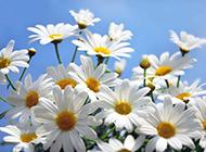 菊花白色花卉清新背景图片