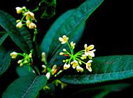 嫁接的盆栽桂花图片含苞欲放