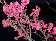 夜间绽放的艳丽桃花图片