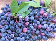 果肉细腻的蓝莓图片