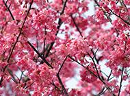 粉红浪漫樱花植物图片背景