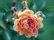 彩色玫瑰春日清新绽放唯美图片