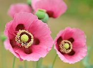 素雅罂粟花浪漫自然植物花卉风景壁纸