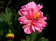 盆栽芍药花图片色彩明艳