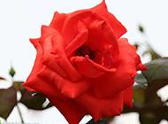 红色月季花高清图片素材