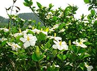 大山里美丽芬芳的栀子花图片