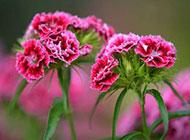 美丽优雅的红色康乃馨图片