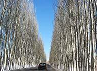 挺拔的白杨树的精美图片素材