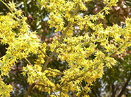 台湾栾树图片开满了花