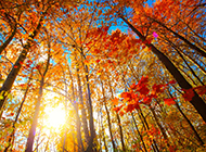 秋天梧桐树图片风景迷人