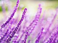 紫色薰衣草唯美花卉风景壁纸