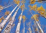 白杨树挺拔身姿图片大全