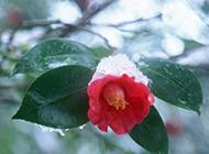 冬日勃勃生机的山茶花图片