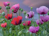 桌面壁纸唯美小清新罂粟植物图片