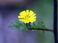 一枝黄花精致摄影图片