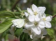 栀子花图片植物花卉素材