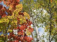 秋日枫树摄影图片欣赏