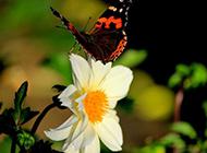 纯白蝴蝶花优美植物图片大全