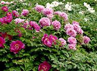 色泽艳丽的牡丹花图片
