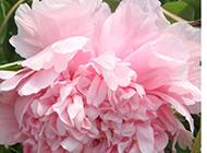 盛开的粉色牡丹花摄影图片