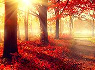 路边好看的枫树林风景图片