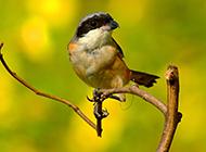 高清小猛禽伯劳鸟的风景壁纸