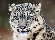 我国一级保护动物野生雪豹图片