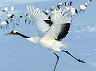 国家一级保护动物丹顶鹤图片欣赏