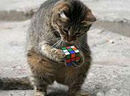 玩魔方的小猫搞怪图片