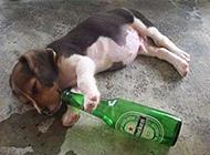喝酒要有度恶搞狗狗图片
